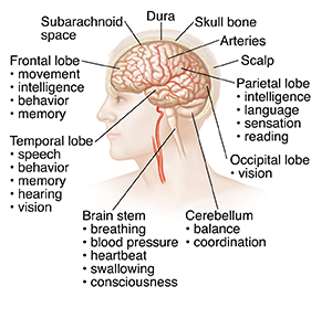 Side view of head and brain.